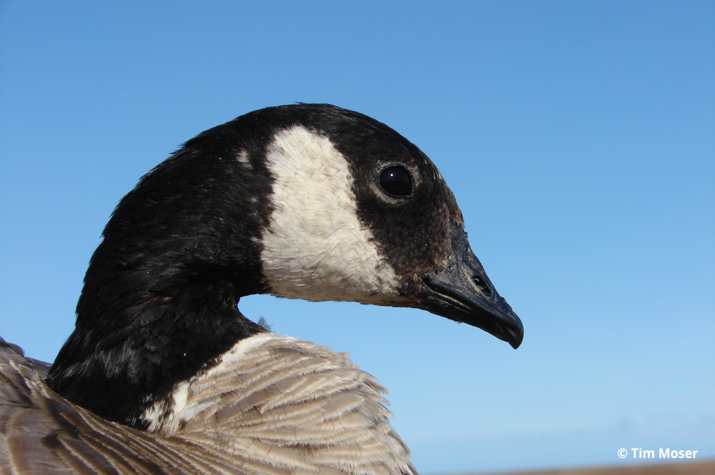 Cackling Goose head Tim Moser 2