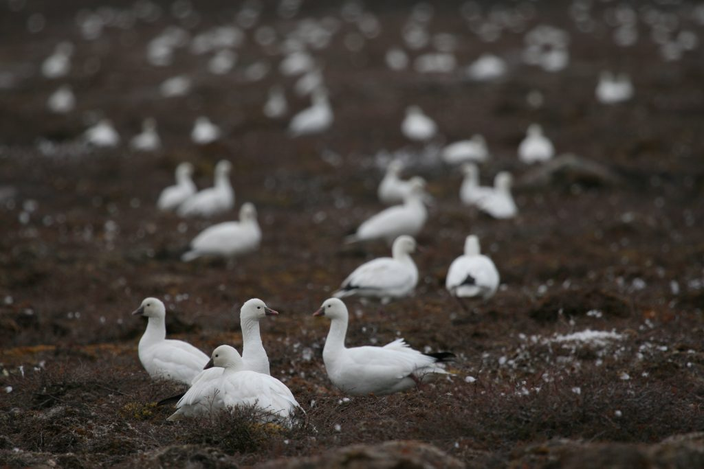 Ross's geese and western Arctic lesser snow geese declared overabundant in Canada